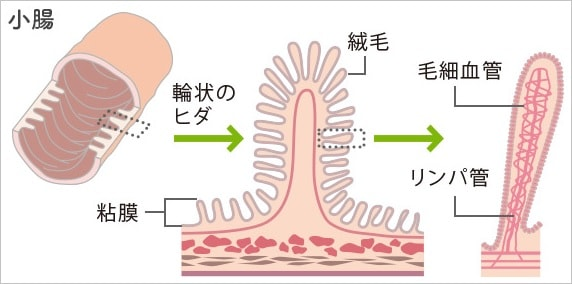 small-intestine-structure